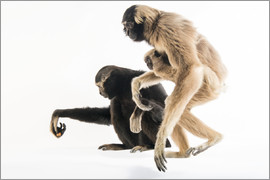 Joel Sartore - pileated gibbons, including an eight month old infant