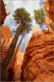 Circumnavigation - Pine at Bryce Canyon, Utah