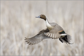 Ken Archer - Pintail Drake Taking Flight