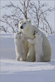 David Jenkins - Polar bear (Ursus maritimus) and cubs, Wapusk National Park, Churchill, Hudson Bay, Manitoba, Canada