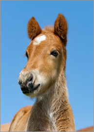Katho Menden - Cute Pony foal portrait in front of blue sky