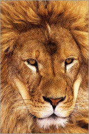 Dave Welling - Portrait of an African lion