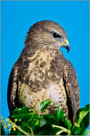 David Aubrey - Common buzzard