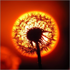 JuDosi - Dandelion in red