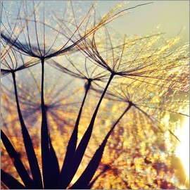 Julia Delgado - Dandelion in the sunset III