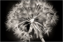 Julia Delgado - Dandelion modern black and white