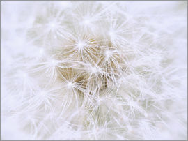 Dandelion - white as snow