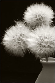 Fluffy dandelions in a vase