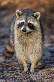Maresa Pryor - Raccoon, Procyon lotor, Florida, USA