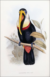 English School - Ramphastos Inca (Toucan from Bolivia)