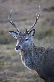Lee Frost - Red deer stag, Rannoch Moor, near Fort William, Highland, Scotland, United Kingdom, Europe