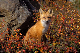 Steve Kazlowski - red fox, Vulpes vulpes, in fall colors along the central North Slope of the Brooks Range, Arctic Ala
