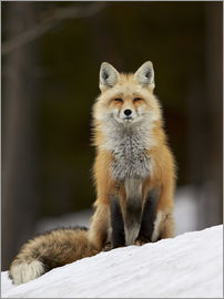 James Hager - Red Fox (Vulpes vulpes) (Vulpes fulva) in the snow, Grand Teton National Park, Wyoming, United State