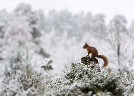 Matthew Cattell - Red squirrel (Sciurus vulgaris) perched on a stump in the snowy Cairngorms, Highlands, Scotland, Uni