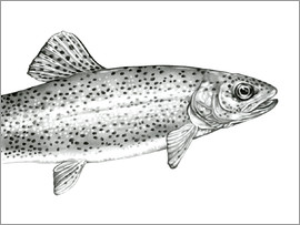 Ashley Verkamp - Rainbow Trout Sketch