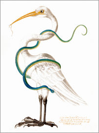Maria Sibylla Merian - Heron encircled by a snake, with a worm in his bill