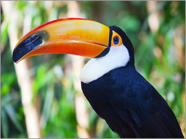 Giant toucan in Brazil