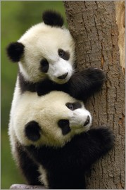 Pete Oxford - Giant Panda Babies (Ailuropoda melanoleuca) on a tree trunk