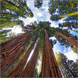 Michael Rucker - giant Sequoia
