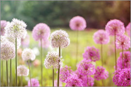 Pink Allium flowers