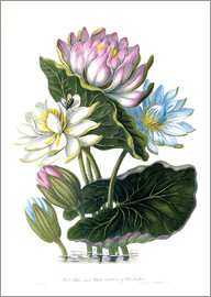 James Forbes - Red, Blue, and White Lotus, of Hindostan