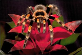 Dennis Flaherty - Red knee tarantula