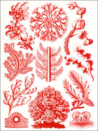 Ernst Haeckel - Red algae and sea grass or Florideae