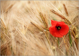 Falko Follert Art-FF77 - Red poppy in wheat field