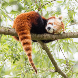 Red Panda resting in a tree