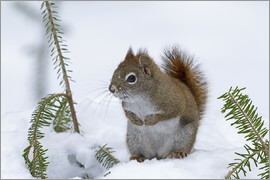 Philippe Henry - Red squirrel (Tamiasciurus hudsonicus) sitting on snow