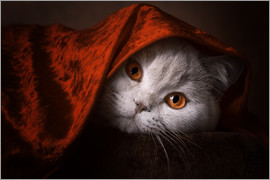 Janina Bürger - Little Red Riding Hood? British short-haired cat under red blanket