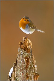 David Slater - Robin on tree stump in winter