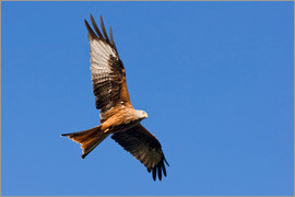 Bieberchen - Red Kite