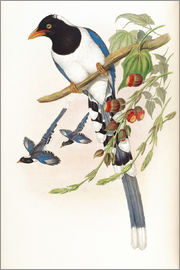 John Gould - Great billed Blue Pie