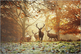 Alex Saberi - Stags and deer in an autumn forest with mist