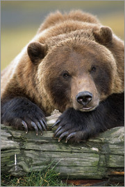 Doug Lindstrand - Resting brown bear