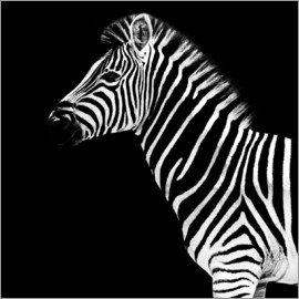 Philippe HUGONNARD - Safari Profile Collection - Zebra Black Edition II