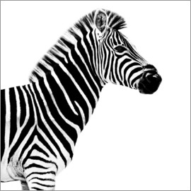 Philippe HUGONNARD - Safari Profile Collection - Zebra White Edition II