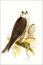 Joseph Wolf - Saker Falcon, (pencil and watercolour)