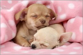 Greg Cuddiford - Sleeping Chihuahuas
