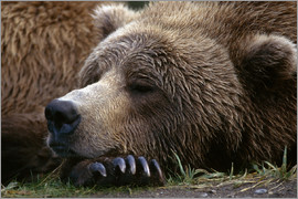 Gary Schultz - Sleeping brown bear