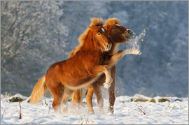 Katho Menden - Icelandic horses foal playing in snow