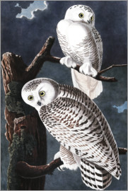 John James Audubon - Snowy Owls
