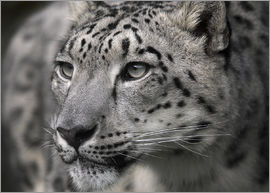 Linda Wright - Snow leopard