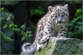 WildlifePhotography -  snow leopard