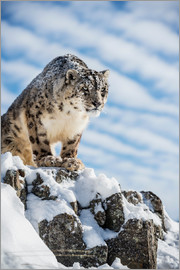 Janette Hill - Snow leopard (Panthera india)
