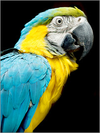 beautiful Blue and yellow macaw