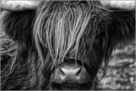 Martina Cross - Scottish Highland Cattle