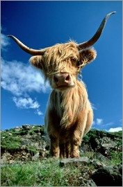 Duncan Usher - Scottish highland cattle