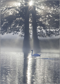 Alex Saberi - Swan on misty lake